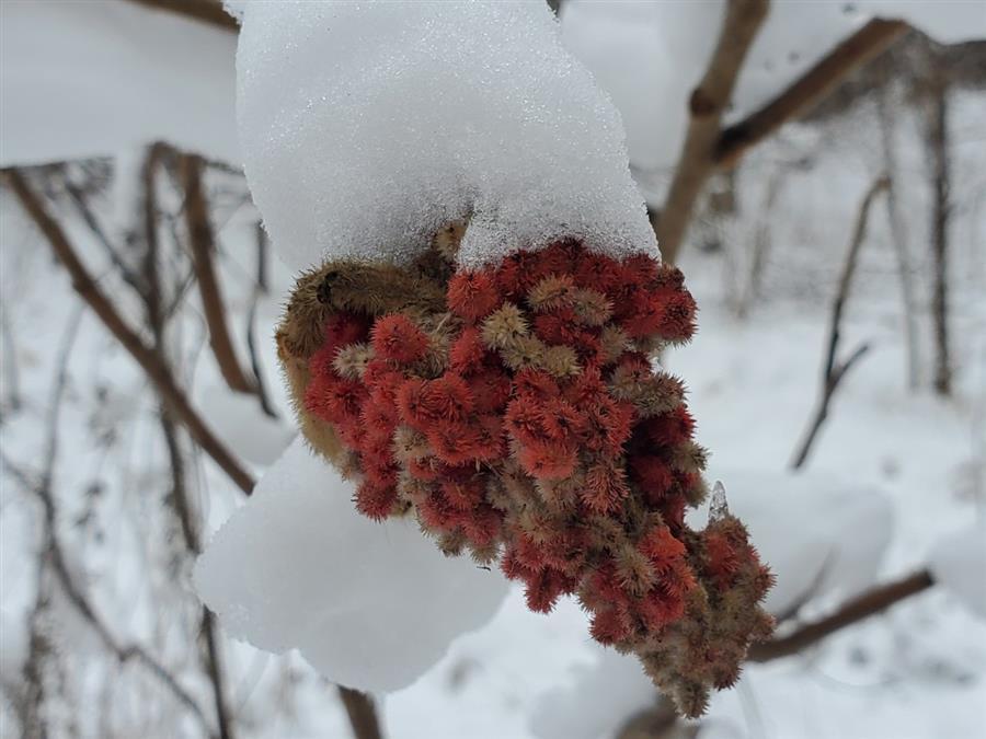 Snowy Bloom
